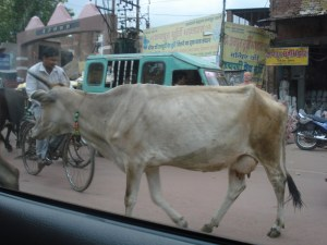 Cows in Mumbai